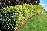Kirschlorbeer für Hecken Cont. 120 - 150 cm