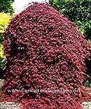 Portal Cool Acer palmatum Dissectum Inaba Shidare Red Japanischer Ahorn