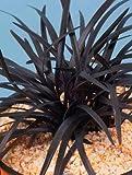 Ophiopogon planiscapus ' Niger' - Schwarzer Schlangenbart - Ziergräser winterhart immergrün mehrjährig -12 cm Topf