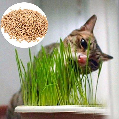 Inovey 90G Reine Natürliche Grown Sweet Hafer Grassamen Katze Hund Kaninchen Pet Health Food 90G Reine Natürliche Grown