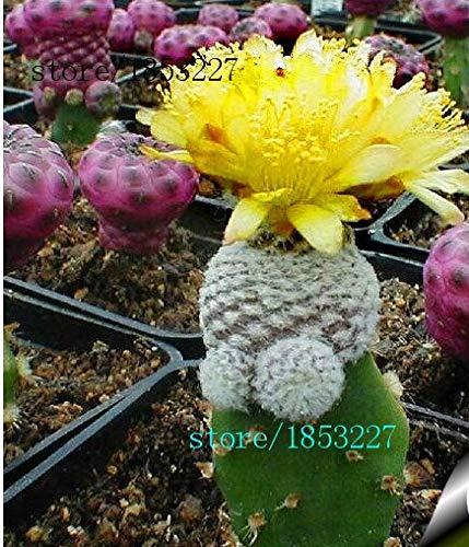 Violet: best-seller!100 Pièces/Paquet Balle Graines De Cactus Rare Graines De Plantes Succulentes Bonsaï Célestes Pot De Fleur Planteurs Flores