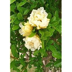 TROPICA - Granatapfelbaum Gelbblühend (Punica granatum flavescens) - 25 Samen