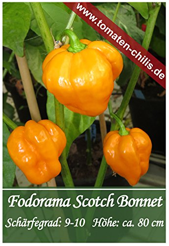 Scotch Samen Pepper Bonnet (Chili Samen - 15 Stück - Fodorama Scotch Bonnet)