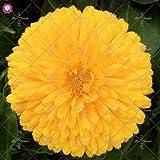 100 piezas Calendula officinalis Semillas Semillas hermosas flores de plantas Bonsai perenne para jardín fácil de cultivar 11