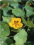 Fiore - Nasturzio - Luteus - 100 Seme