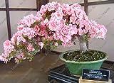 100 PC / bag Seltene Bonsai 23 Sorten von Azaleen DIY Haus und Garten Pflanzen mit Sakura Japanische Blumensamen
