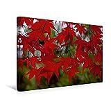 Calvendo Premium Textil-Leinwand 45 cm x 30 cm Quer, R O T ! | Wandbild, Bild auf Keilrahmen, Fertigbild auf Echter Leinwand, Leinwanddruck: Vorhang aus rot gefärbten Blättern des Ahorns Natur Natur