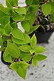 Hortensie Rispenhortensie Grandiflora Hydrangea paniculata Grandiflora Containerware 40-60 cm hoch