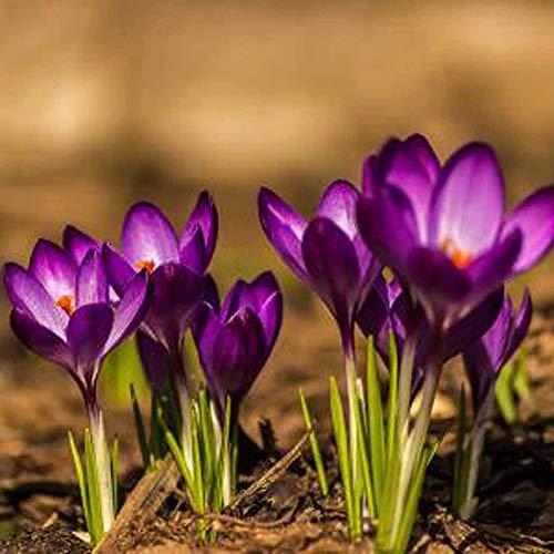 Zoom IMG-3 xdised9xsmao 100pz zafferano crocus sativus