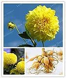 Shopmeeko Vente chaude 2 ampoule jaune Dahlia ampoules belle vivace dahlia bulbes de fleurs Bonsaï plante bricolage maison jardin: MIX...