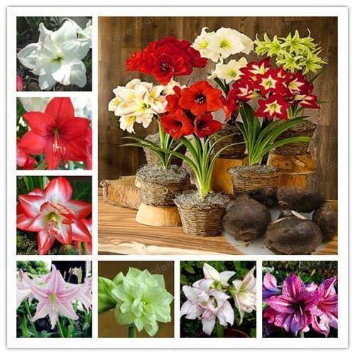 PLAT FIRM GERMINATIONSAMEN: 14: 2 Zwiebeln Amaryllis Hippeastrum Blumen Barbados Lilie Topfpflanzen