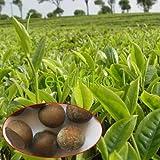 20pcs / lot chinesischer grüner Tee-Baum-Samen Bonsai Pflanze DIY Tee für gesunden Bonsai Teebaum-Hausgarten