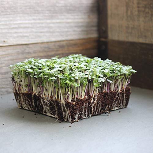 sconosciuto semi: 1 lb: base semi microgreens insalata mista -non ogm: broccoli, cavoli, cavolo rapa, più