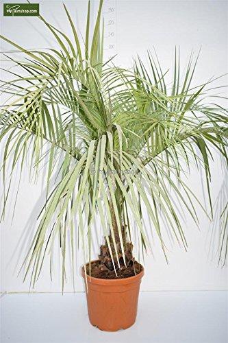 die geleepalme butita capitata ist eine langsam wachsende winterharte palmenart die eine hohe von zirka sechs metern erreicht die weiterlesen