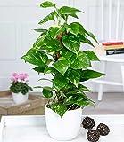 BALDUR-Garten Efeutute am Moosstab, 1 Pflanze Scindapsus Zimmerpflanze auch für dunkle Standorte
