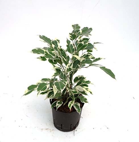 Birkenfeige, Ficus benjamini De Gantel, Zimmerpflanze in Hydrokultur, 13/12er Kulturtopf, 30 - 40 cm
