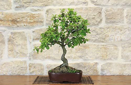 bonsai di quercia - leccio (38)