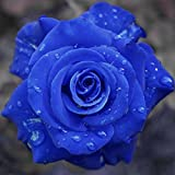 #8: Catterpillar Farm Blue Rose 1 Healthy Live Plant In Poly Bag