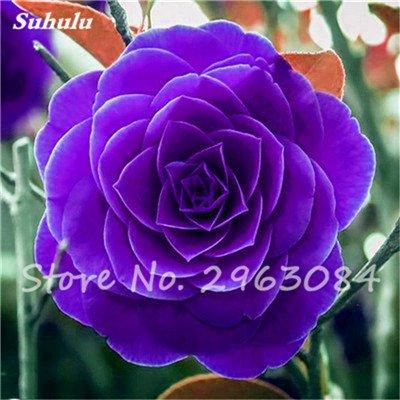 5 pièces rares Graines arc-en-Camellia fleurs, plantes en pot de bricolage, Lumière Parfumée Fleur intérieur, intérieur Bonsai planter des fleurs Semences