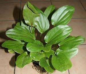 1 pot Echinodorus lothario, plantes pour aquarium