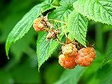 Fruchtbengel, Himbeere Valentina,Rubus idaeus, robust, exotisch, aprikotfarben