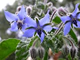 100 graines d'Aromatiques - BOURRACHE - Borago Officinalis