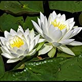 Water Lily Live Plant Bulb (Seed) Pack of 1