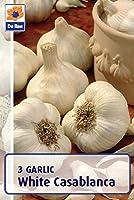 Winter Garlic Bulbs White Casablanca (3 Bulbs Per Pack) Autumn Planting - Plant Autumn Onwards