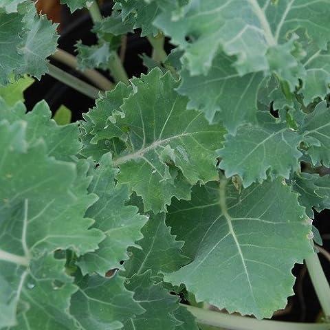 Siberian Improved Kale Seeds