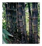 Dendrocalamus asper - schwarzer Riesenbambus - 50 Samen