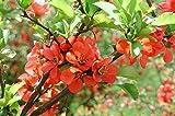 Portal Cool 100 Samen: Chaenomeles japonica 10-500 Samen, Kalter Hardy Bonsai-rote japanische Quitte Strauch