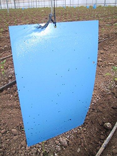 blue-sticky-traps-large