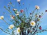 Portal Cool Erigeron karvinskianus -9Cm- Hardy Alpino Rockery pianta perenne Flower Garden