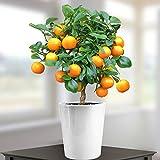 Oranger 40cm avec fruits - 1 arbre