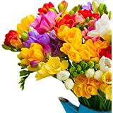 seedsnpots Mix Coloured Freesia Winter Flower Bulb - Pack of 10 Bulbs