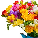 #7: Generic Freesia Winter Flower Bulbs Mix Color 10 Bulbs Pack