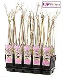 Blumen-Senf Chinesischer Blauregen Wisteria floribunda Rosea 60-70 cm / Topf Ø 15 cm / wunderschöne Kletterplanze