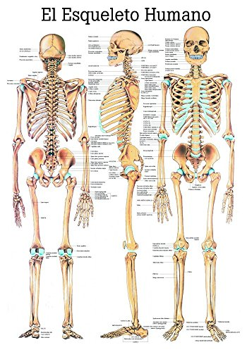 ruediger-anatomie-es03-el-esque-leto-humano-tableau-espagnol-70-cm-x-100-cm-papier