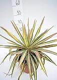 Fädige Palmlilie - Yucca filamentosa 'Color Guard' - Gesamthöhe 45-55cm Topf Ø 26cm.