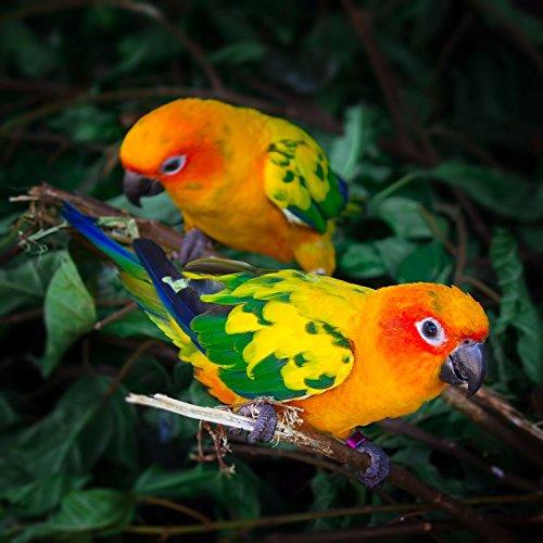 Two Sun Conures Parrots Bird Nature Home Decor Art Wall Poster 50 X 50 cm