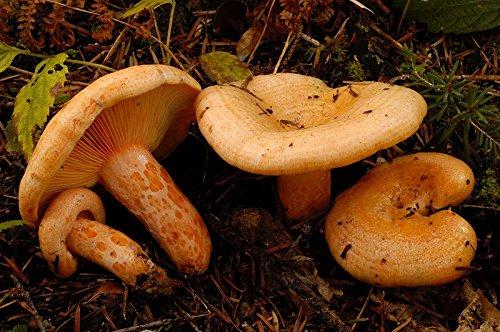 Se recomienda inocular el micelio de 0,5 a 5 m del tronco de pino. Un paquete es suficiente para tres pozos de una profundidad de unos 15 cm. El lactarius deliciosus debe plantarse en un sustrato permeable ácido, por lo que el pozo debe rellenarse pa...
