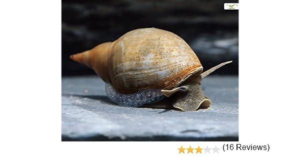garnelio/ /5/x bassin Cor postal escargot/ /planorbella duryi duryi