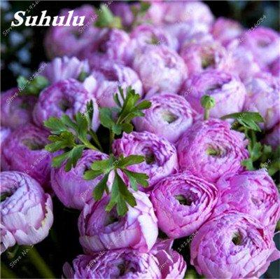 10 Pcs Pivoine graines, semences Potted extérieur, Bonsai Flower Seed, Variété complète, facile à cultiver, d'ornement-plantes pour jardin 5