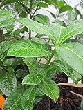 Prunus laurocerasus Ani (R) - Kirschlorbeer Ani (R)