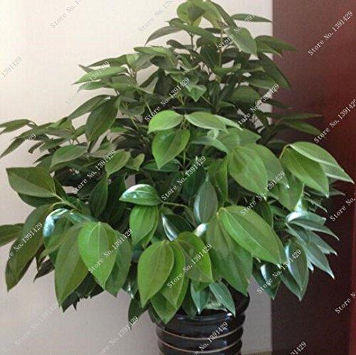 5-pezzi-semi-di-cannella-giapponese-nano-alberi-semi-di-piante-contenitore-giardino-bonsai-pentola-c