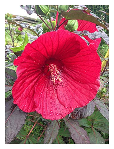 Hibiscus moscheutos Midnight Marvel - Swamp Rose Mallow Plant in 9cm Pot