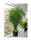 20x Cyperus alternifolius Wechselblättriges Zyperngras Samen #301