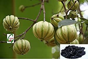 Seed Stores 10 Seeds Of Garcinia Cambogia Or Gummi Gutta Tree For