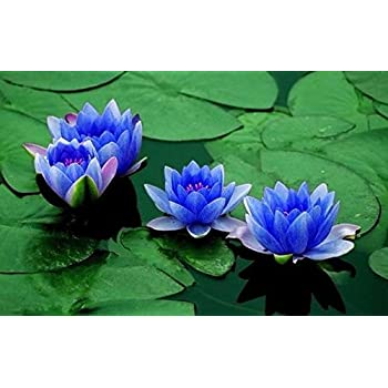 Bonsai Lotuswater Lily Flower Bowl Pond 5 Fresh Seedsperfume Mini