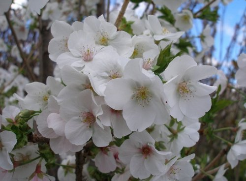 prunus-snow-goose-flowering-cherry-tree-8-ft-supplied-in-a-75-l-pot